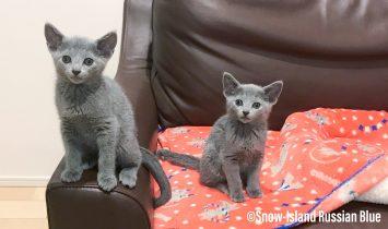 ロシアンブルーの子猫生後1ヶ月半